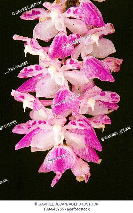 Fox brush Orchid (Aerides multiflorum)