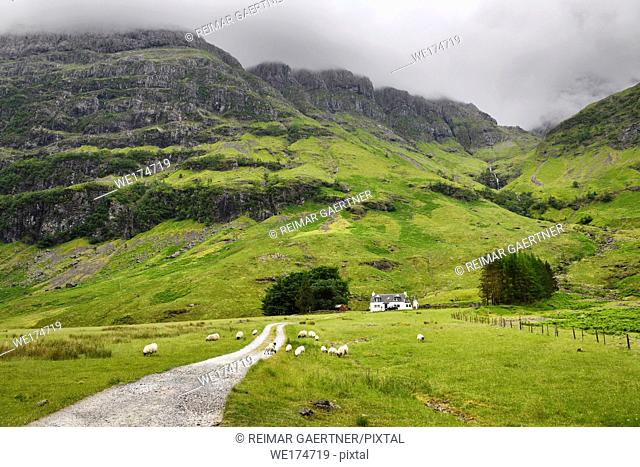Black faced sheep grazing at Achnambeithach cottage under Aonach Dubh last of the Three Sisters at Bidean nam Bian Glen Coe Scotland UK