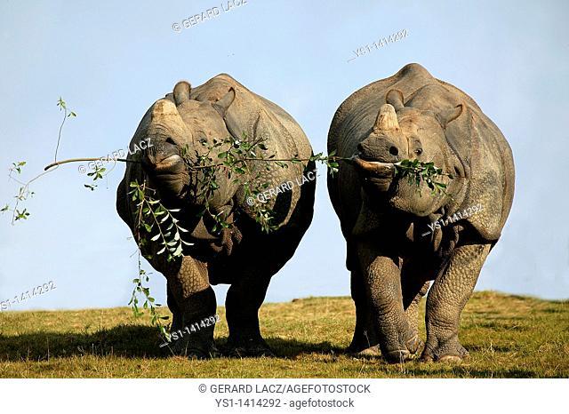 INDIAN RHINOCEROS rhinoceros unicornis, PAIR FEEDING ON THE SAME BRANCH