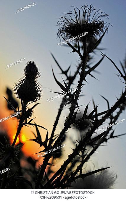 thistle seen against the light, Eure-et-Loir department, Centre-Val de Loire region, France, Europe
