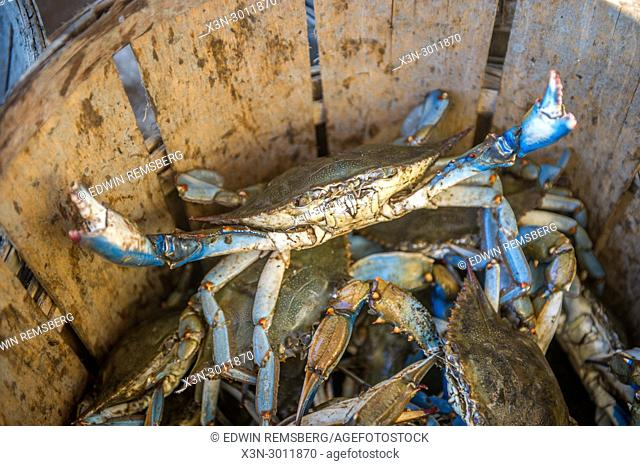 Chesapeake blue crab lifts up its claws standing in basket, Dundalk, Maryland. USA