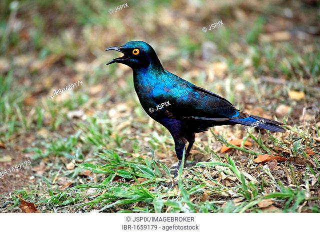 Red-shouldered Glossy-starling (Lamprotornis nitens), adult on the ground, Kruger National Park, South Africa, Africa