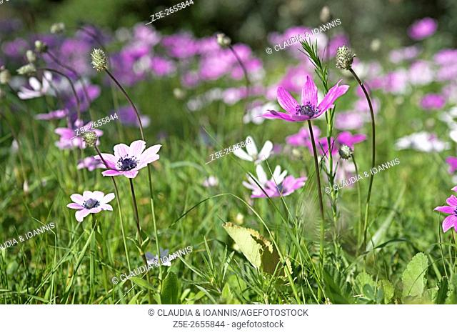 Wild anemones growing on a meadow on Pelion Peninsula, Thessaly, Greece