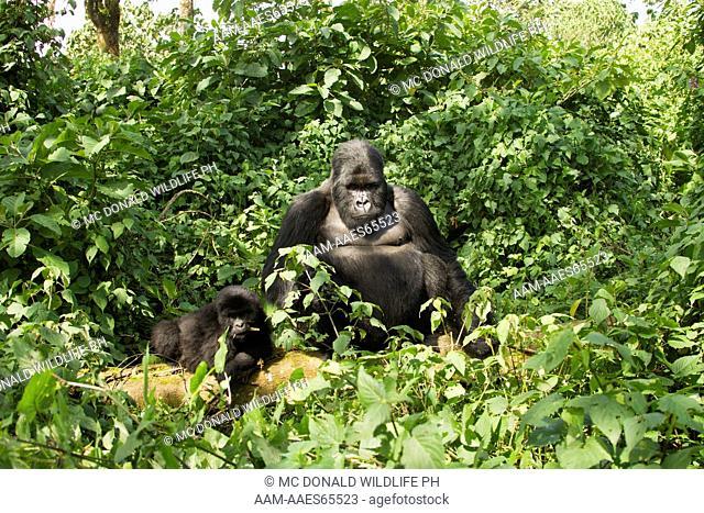 Mountain Gorilla (Gorilla gorilla beringei) Kwitonda Group, Volcanoes National Park, Rwanda