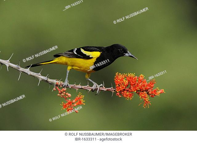 Scott's Oriole (Icterus parisorum), male feeding on blooming Ocotillo (Fouquieria splendens), Chisos Basin, Chisos Mountains, Big Bend National Park