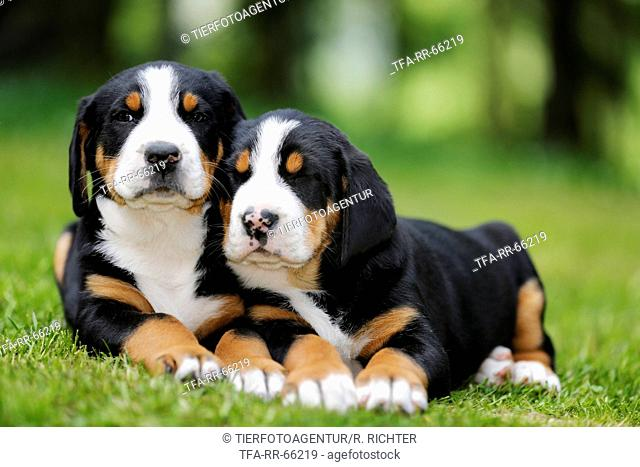 2 Greater Swiss Mountain Dog Puppies in the countryside