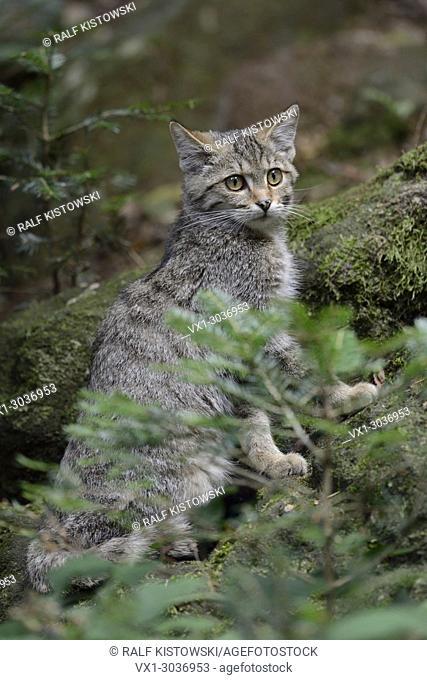 European Wild Cat ( Felis silvestris silvestris ) sitting in coniferous forest