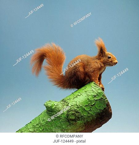 European red squirrel / Sciurus vulgaris