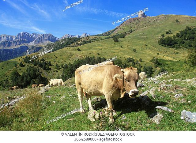 landscape with cow on the climb tol ibón Acherito. Hecho valley. Huesca