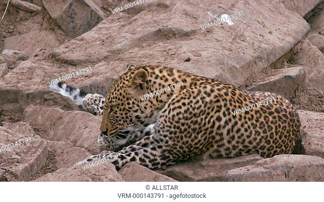 LEOPARD SAT ON ROCKS; MAASAI MARA KENYA, AFRICA; 04/09/2016