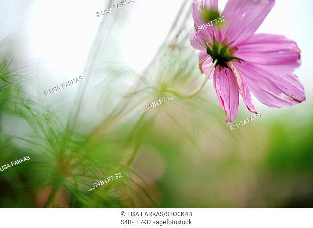 Flowering Cosmos