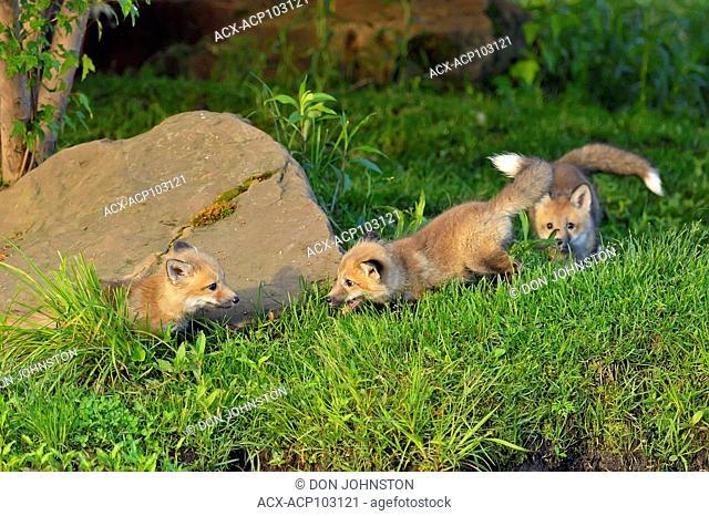 Red fox (Vulpes vulpes) captive raised kits, Minnesota Wildlife Connection, Sandstone, Minnesota, USA