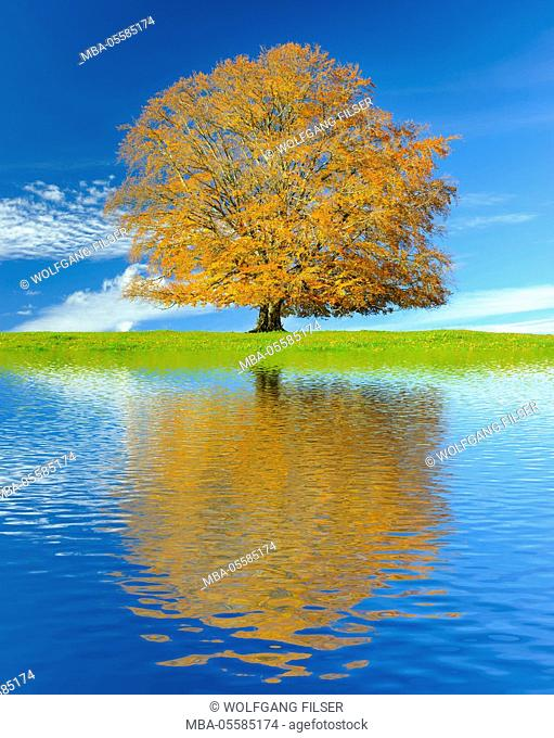 Big old beech in autumn with mirroring in artificial lake
