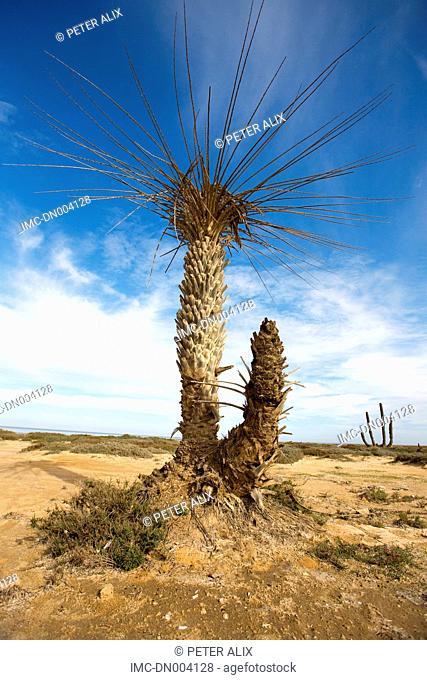 Tunisia, Djerba island, dead palm tree