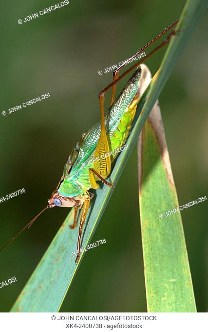 Handsome meadow katydid, Virginia, USA