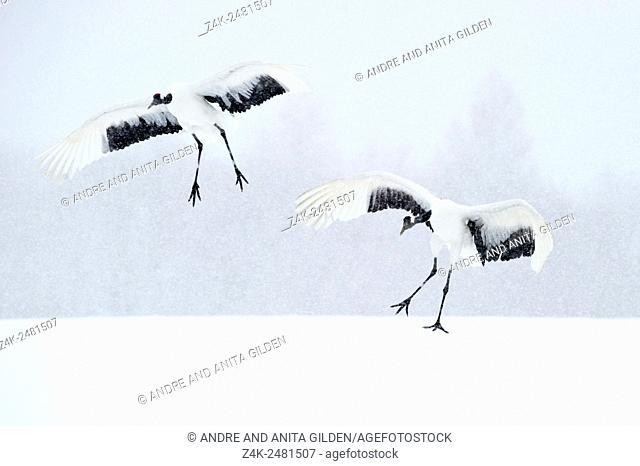 Japanese red Crowned cranes (Grus japonensis) landing in snowy landscape during snowfall, Akan, Hokkaido, Japan