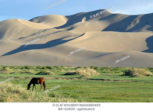 Mongolian horse standing in a lush green grass landscape in front of the large sand dunes Khorgoryn Els in the Gobi Desert, Gurvan Saikhan National Park