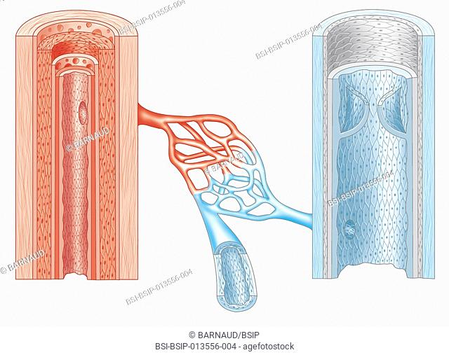 Cross-section of an artery and vein showing their structure