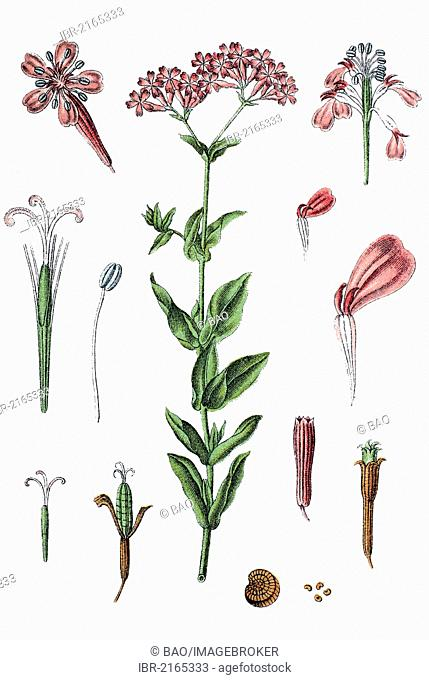 Sweet William Catchfly or Not-so-pretty (Silene armeria), medicinal plant, useful plant, chromolithograph, circa 1790