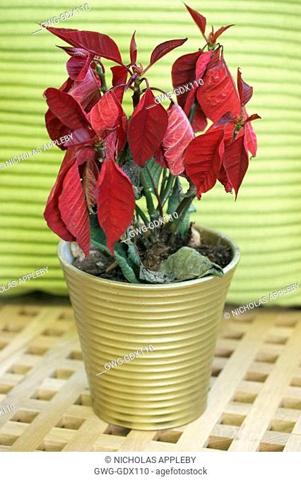 OVERWATERED EUPHORBIA PULCHERRIMA POINSETTIA BOTRYTIS OCCURING AT BASE OF PLANT
