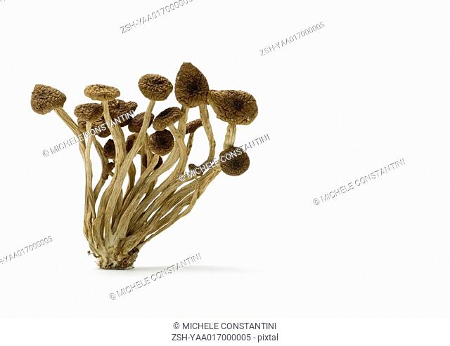 Dried shimeji mushrooms