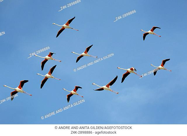 Greater Flamingo (Phoenicopterus roseus) group flying against blue sky, Camargue, France