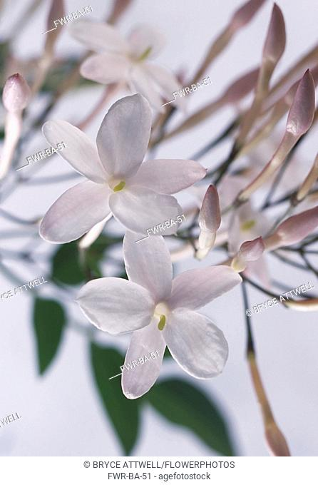 Jasmine, Jasminum officinale, Close up studio shot of white coloured flower