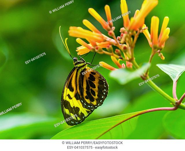 Large Yellow Orange Tiger Monarch Butterfly, Lycorea Cleobaea, sitting on green leaf with wings folded Macro