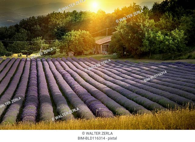 Rows of lavender crops in field