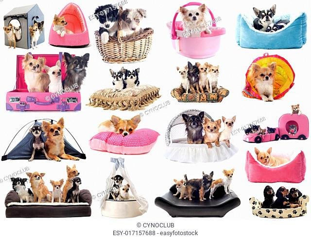 little dogs in dog bed in front of white background
