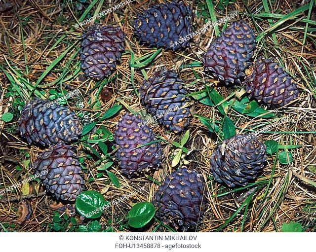 East Siberia, Eatern Siberia, Siberia, cone, cones, flora, nature