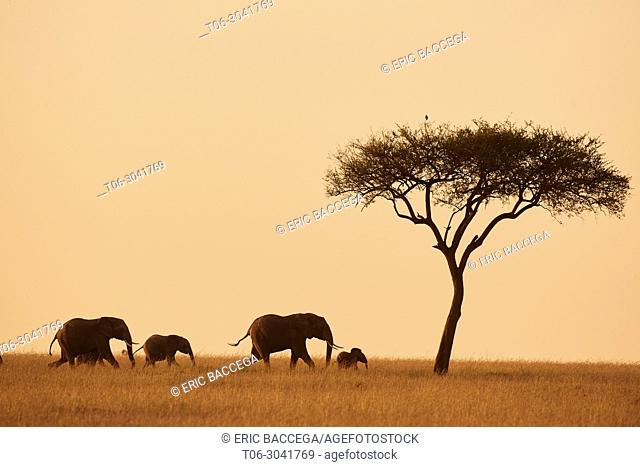 African elephant family (loxodonta africana) walking in the savanna at sunrise, Masai Mara National Reserve, Kenya, Africa