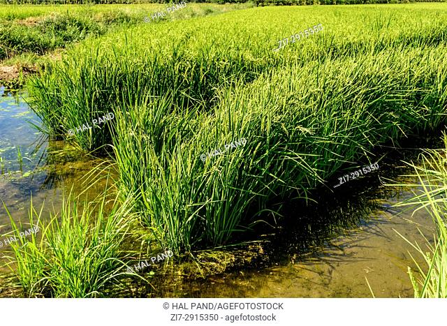 green rice plants and water in flooded cultivation field, shot in a bright summer day in Ticino park near Besate, Milan, Lombardy, Italy