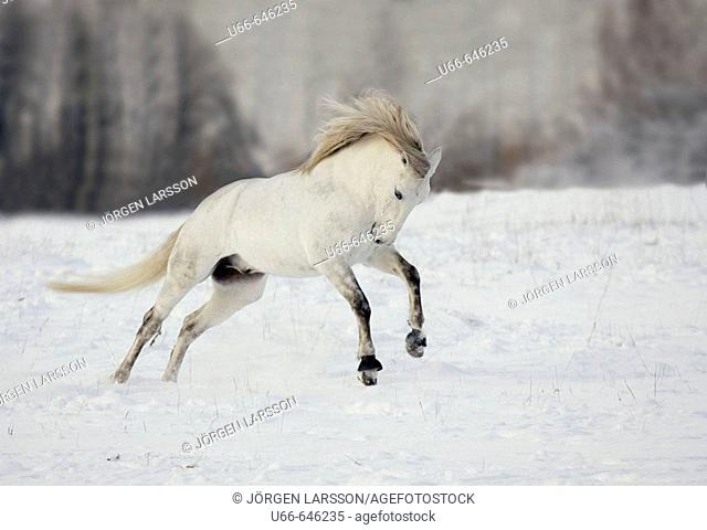Lusitano horse jumping. Sweden