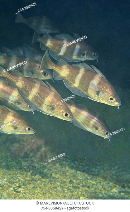 Pounting. Pout bib (Trisopterus luscus). Eastern Atlantic. Galicia. Spain. Europe