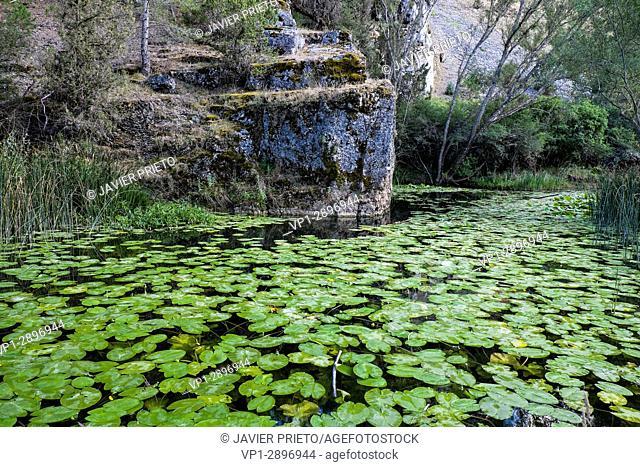 Water lilies on the Lobos River. Canyon of Río Lobos Natural Park. Soria. Castilla y León. Spain