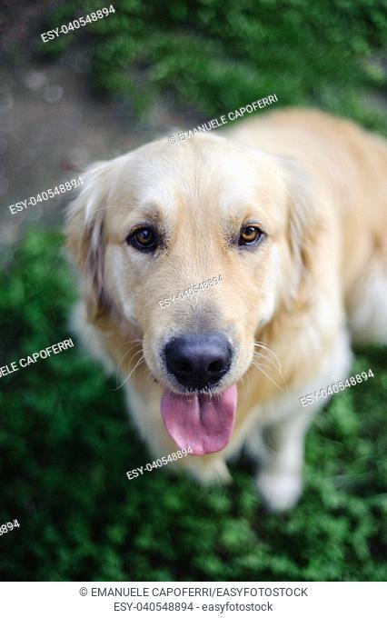 portrait of purebred Golden retriever dog in garden while looking upwards