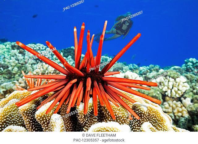 Diver and a slate pencil sea urchin (Heterocentrotus mammillatus) on the reef at Molokini Marine Preserve off the island of Maui; Hawaii