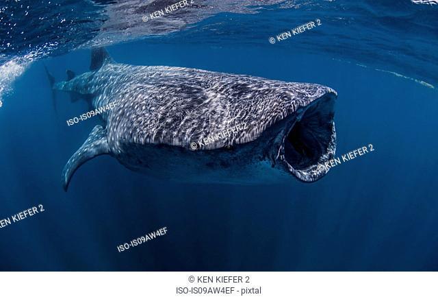 Whale shark near Isla Mujeres, Mexico