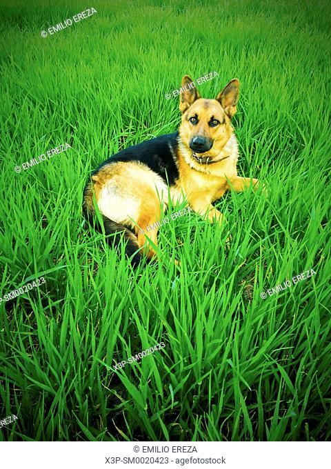 Dog. German shepherd