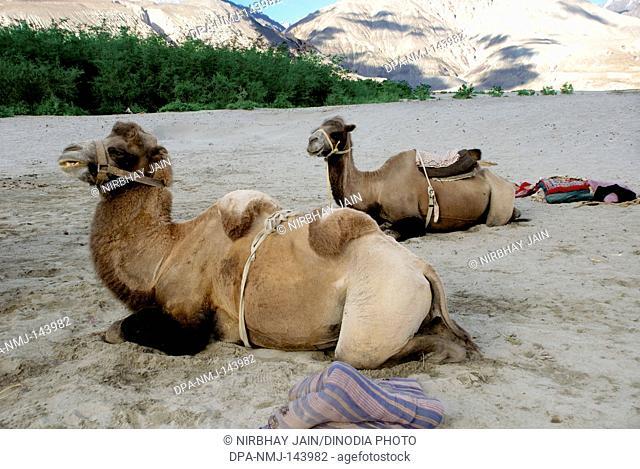 Double humped camels at Hundar near Diskit ; Ladakh ; Jammu & Kashmir ; India