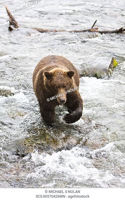 Adult brown bear Ursus arctos foraging for spawning sockeye salmon at the Brooks River in Katmai National Park near Bristol Bay, Alaska