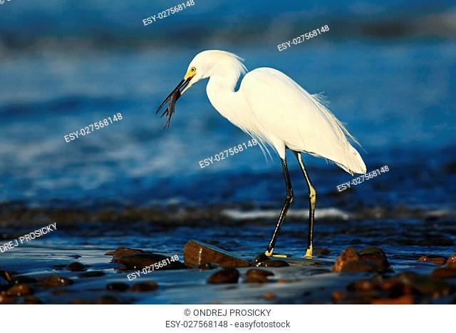 Snow Egret, Egretta thula, in the coast habitat. Heron