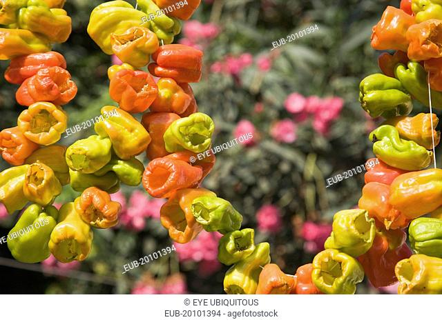 Ephesus. Strings of brightly coloured Capsicum annuum cultivars of chillies hanging up to dry in late afternoon summer sun