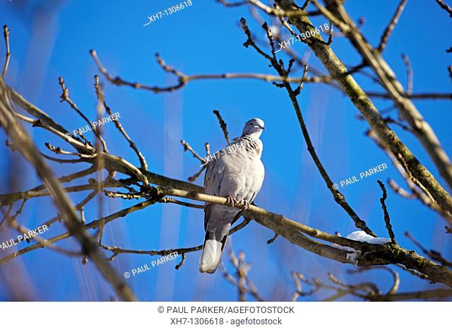 Collared Dove, (Streptopelia decaocto) in a South Wales Garden, UK
