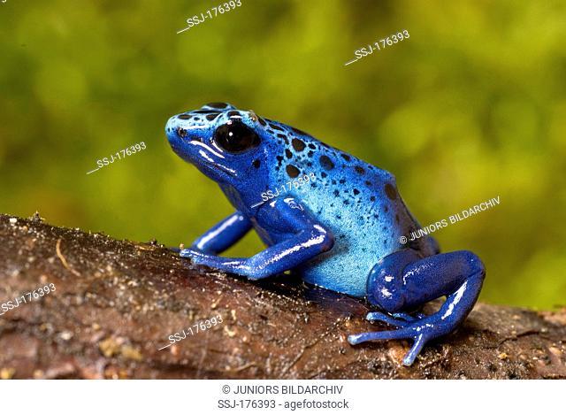 Blue Poison Dart Frog (Dendrobates tinctorius azureus) on a branch