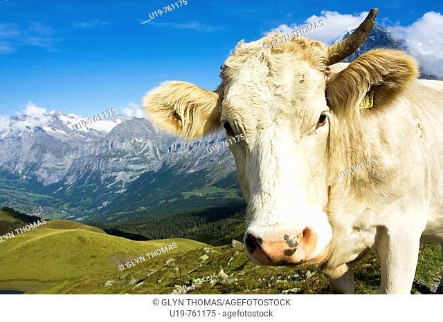 Alpine cow at Männlichen, Switzerland