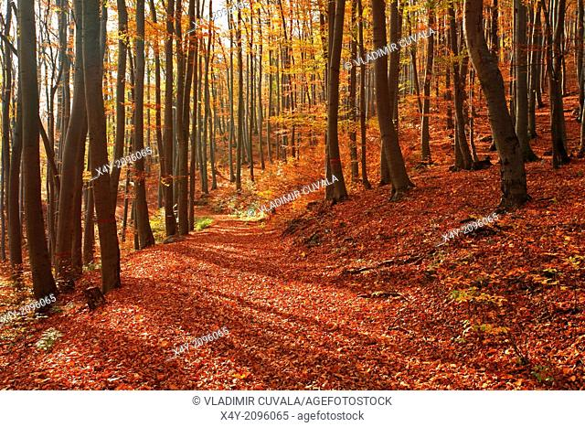 Fallen foliage on the road through beech forest on the slopes of mountain Zaruby, Male Karpaty, Slovakia