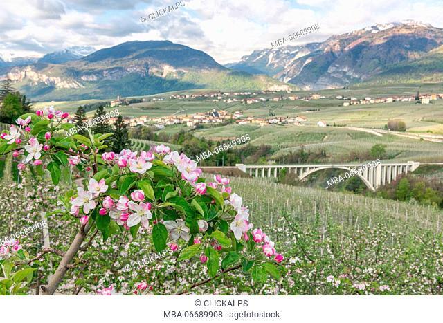 Italy, Trentino Alto Adige, apple flowering of Non valley and S. Giustina bridge