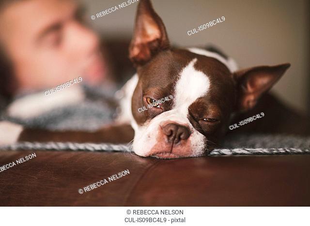 Sleepy boston terrier and man resting on armchair